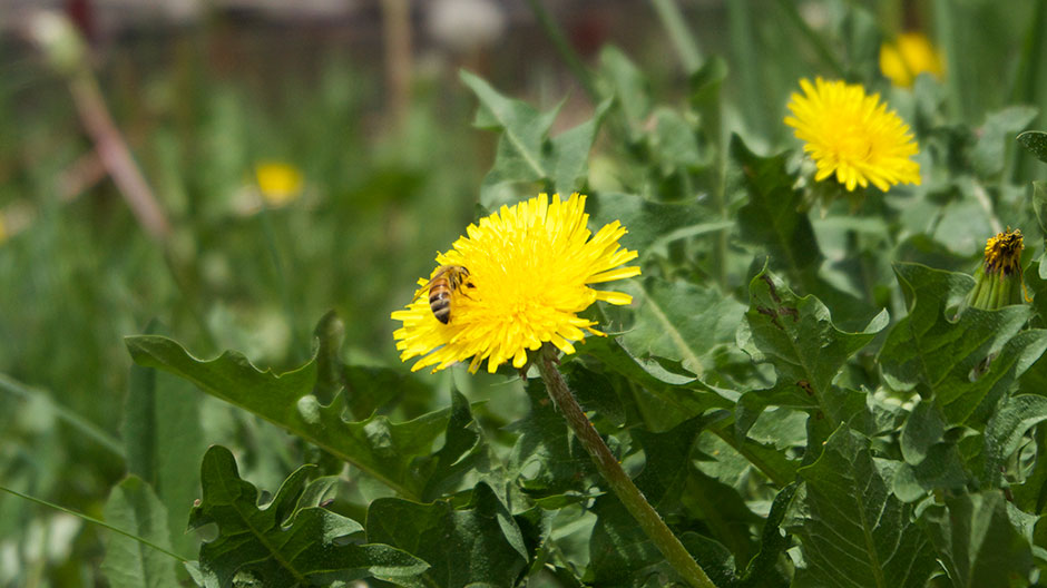A bee foraging for dandelion pollen, Boulder, Colorado photographed by Laura Tyler.