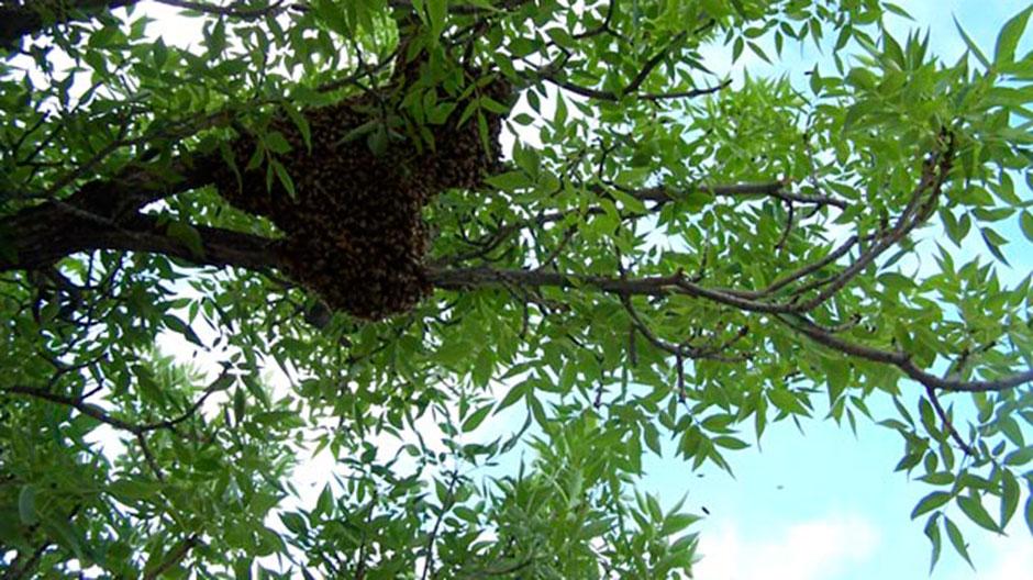 A swarm of honeybees, Boulder, Colorado